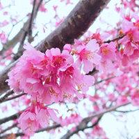「春の雨に咲く」 いわき 新川の桜並木にて撮影!