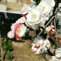 ミックス梅の花一輪咲く