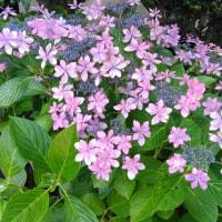 長谷寺の紫陽花を見てきました!