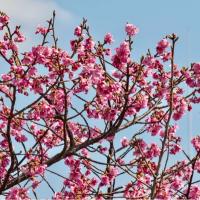 28/Feb 川の菜の花と寒緋桜と月火金星
