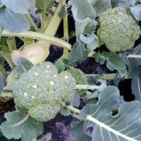 ブロッコリーの<頂花蕾>最後の収穫です。