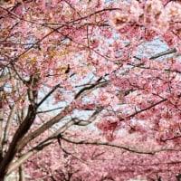 旧中川沿いの河津桜とメジロ(2/19)