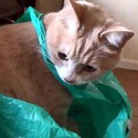 猫あるある♪ ビニール袋と♂猫だいず😸