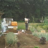 6月24日25日の畑は曇り・雨、除草とキャベツ収穫
