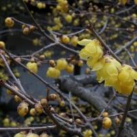植物の漢字 蝋梅