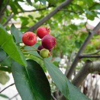 ジューンベリーの赤い実