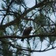 鳥撮り日記ーコサメビタキ・イカル