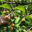 完熟梅採り体験…