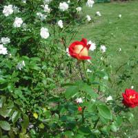 色鮮やか 目立つ バラの「希望」
