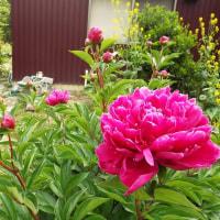 「上」シャクヤクの花が咲きました。 「下」コンニャクの花が咲きました。