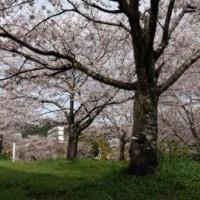 大谷公園のサクラ満開 春爛漫