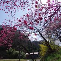 北広島町橋山、桜・もも・レンギョウ 2017