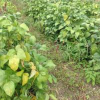 黒枝豆刈り