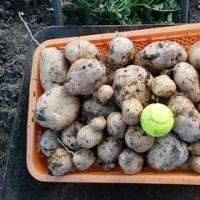 野菜の収穫、