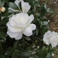 寒くなってくるとこの花でしょう!・・・サザンカ