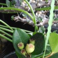 台湾ヤドリコケモモの果実