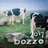 【bozzo.jp】美ヶ原高原の霧に包まれる牛たち
