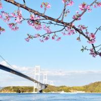 しまなみ海道と河津桜のコラボ