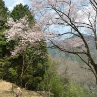 大野の桜&フォレスターハウスのカタクリの花