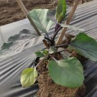 農業実践教室第22期:4回目~豆類も発芽、畑が賑やかになってきています