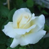 我が家のバラが咲き始めました