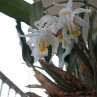 セロジネラン 君子蘭など ベランダ鉢植え2017年4月