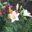 庭ではユリが満開