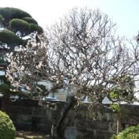 実家の梅の木