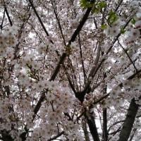 今年も桜が咲きました!!