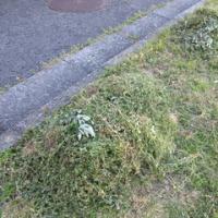 草刈り鎌が切れずだわ。