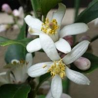 4齢幼虫とレモンの花