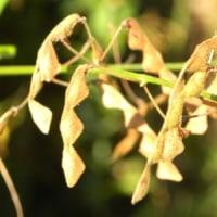 アレチヌスビトハギのひっつき虫