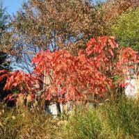 樹木ウォッチング冬から夏へ205ヤマウルシ3