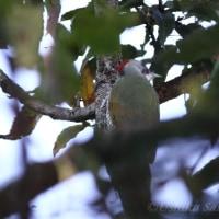 アーカイブ 冬鳥 「アオゲラ」