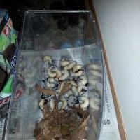 カブトムシの幼虫飼育