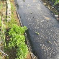 ジャガイモ芽が出て来た