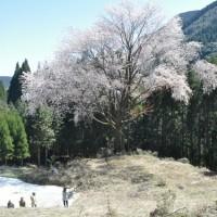 球磨郡 毎床の山桜