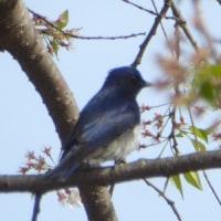 渡りの夏鳥、トップバターは青い鳥!