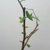 ハマベブドウ(シーグレープ) 22続き8