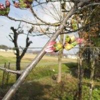 角館の桜、開花?!