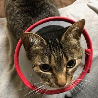 愛猫キティーちゃん 手術・入院・退院♪