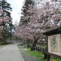 みちのくの春2017 ~ さくらの咲き始め:松ヶ岬公園 ~