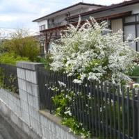 一関市東山町「柴宿団地」のユキヤナギ(雪柳) 2017年4月22日(土)記事のタイトルを入力してください(必須)