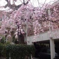 深沢桜チェック → かき氷@雪うさぎ 桜新町