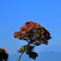 富士山とピラカンサ