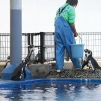 ペンギン散歩今昔・越前松島フンボルト5