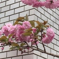 締めくくりの桜
