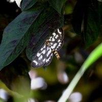 アジサイが綺麗ですが、蝶や蛾が目につきます