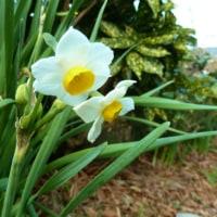房咲き水仙