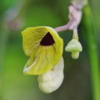 ハンカチノキとオオバウマノスズクサの花(赤塚植物園)